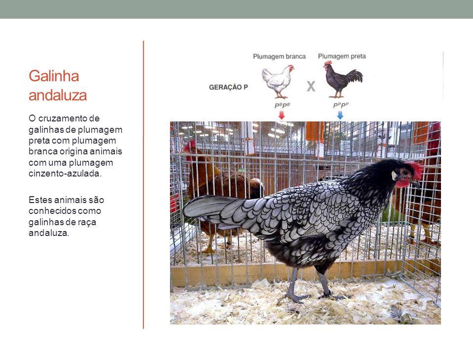 Galinha andaluza O cruzamento de galinhas de plumagem preta com plumagem branca origina animais com uma plumagem cinzento-azulada.