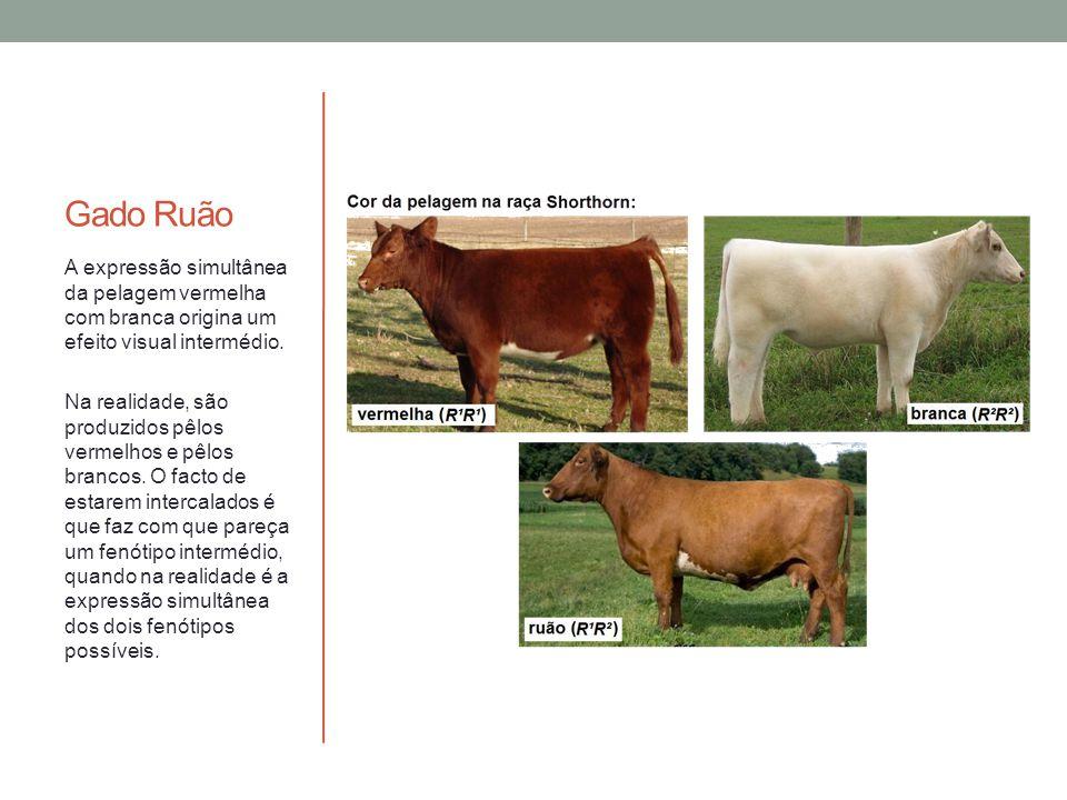Gado Ruão A expressão simultânea da pelagem vermelha com branca origina um efeito visual intermédio.