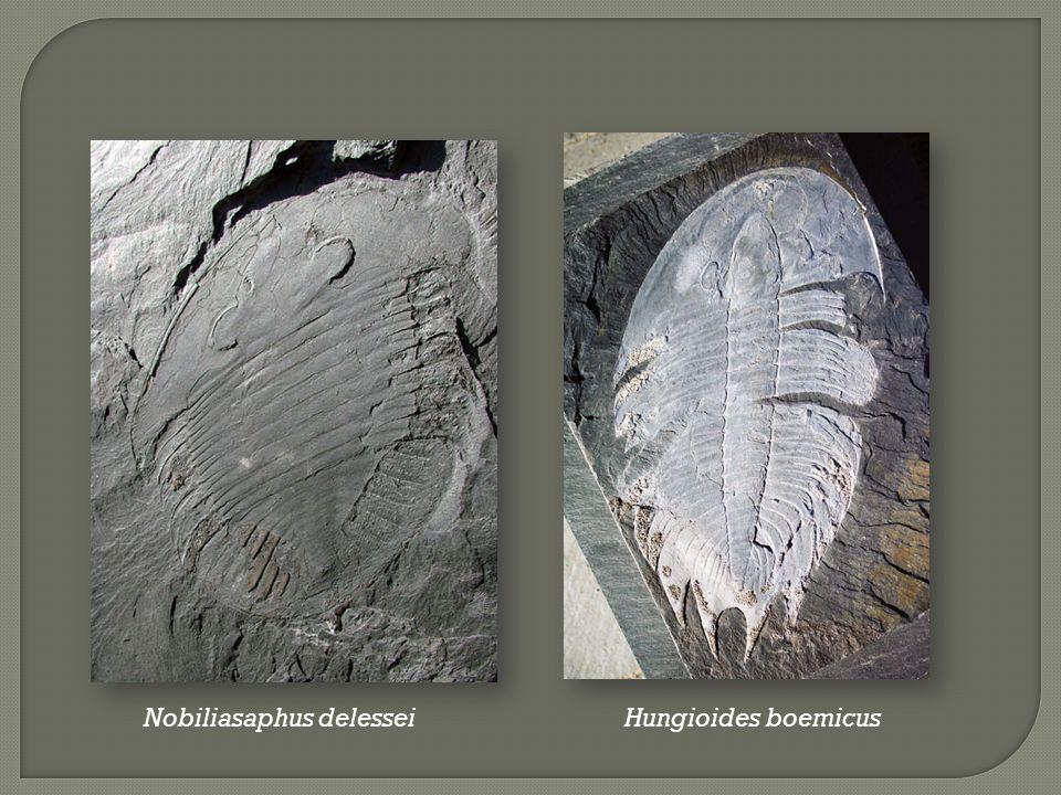 Nobiliasaphus delessei