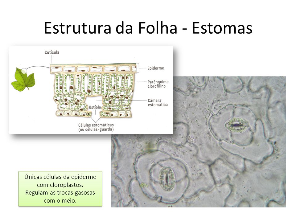 Estrutura da Folha - Estomas