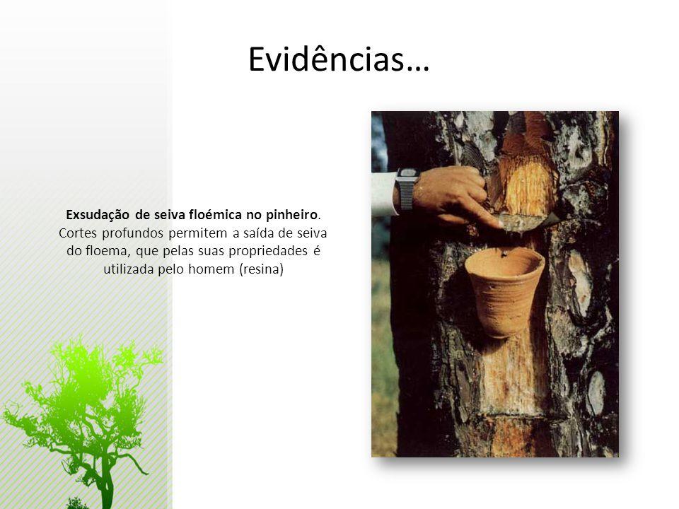 Exsudação de seiva floémica no pinheiro.