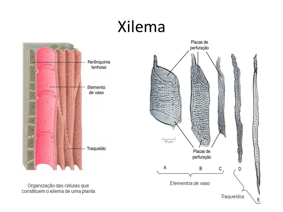 Organização das células que constituem o xilema de uma planta
