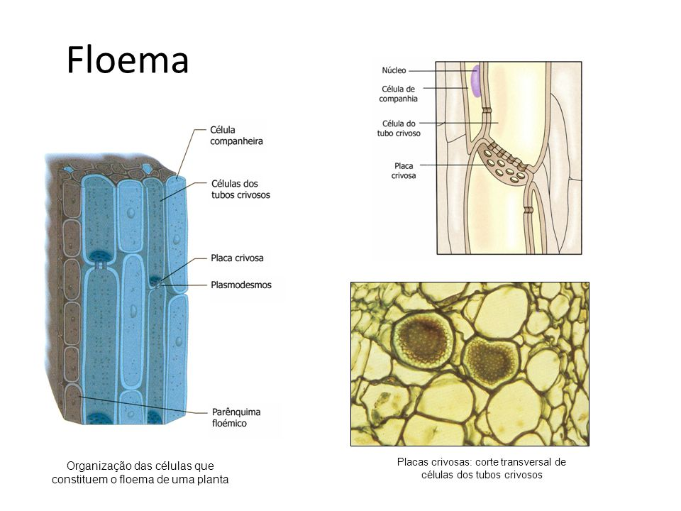Floema Organização das células que constituem o floema de uma planta
