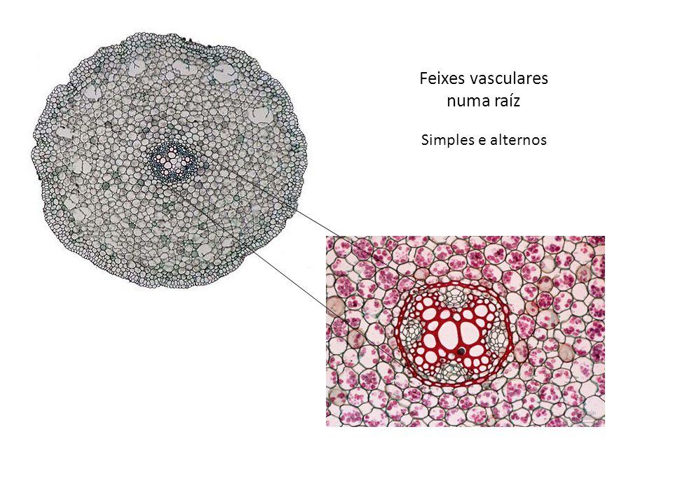 Feixes vasculares numa raíz
