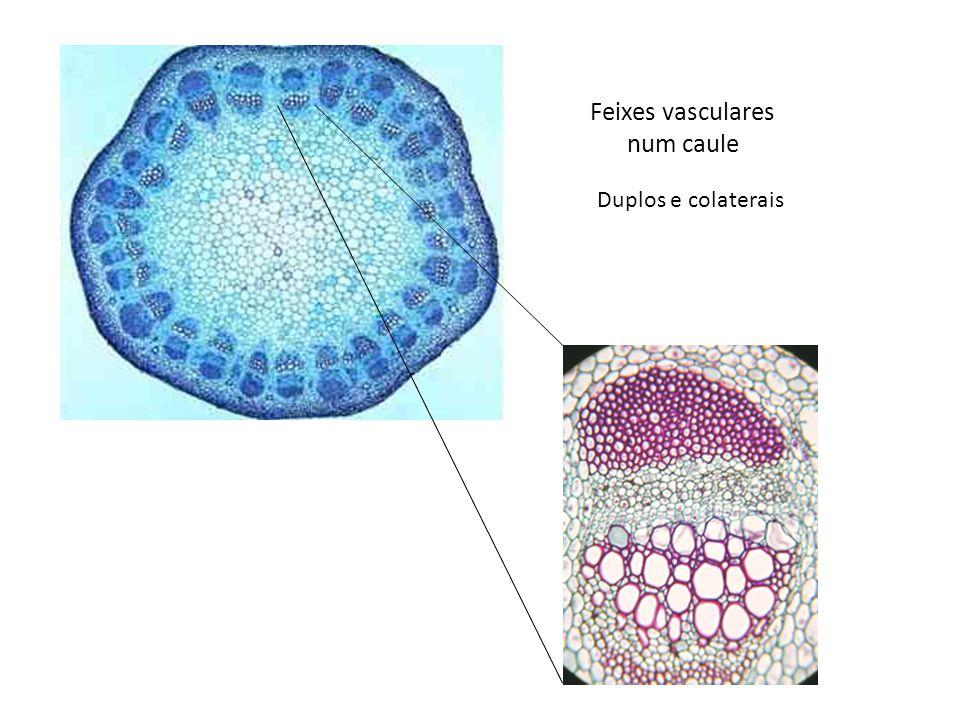 Feixes vasculares num caule