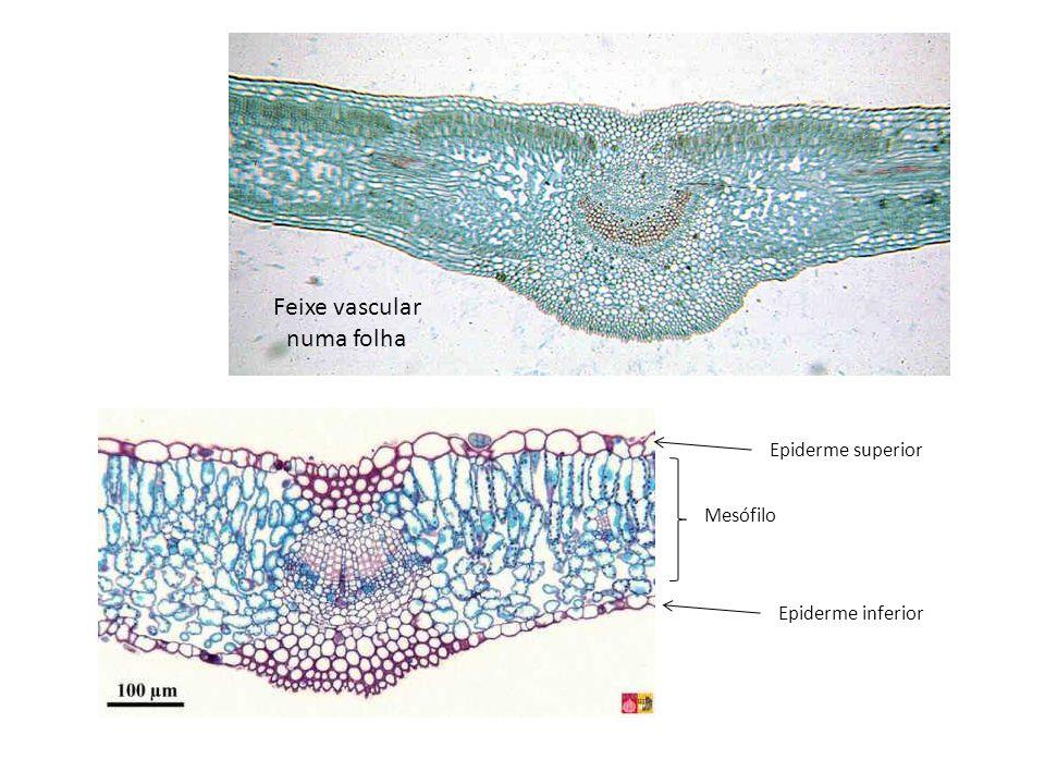 Feixe vascular numa folha