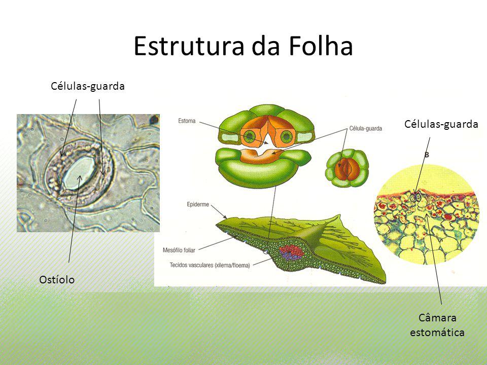 Estrutura da Folha Células-guarda Células-guarda Ostíolo