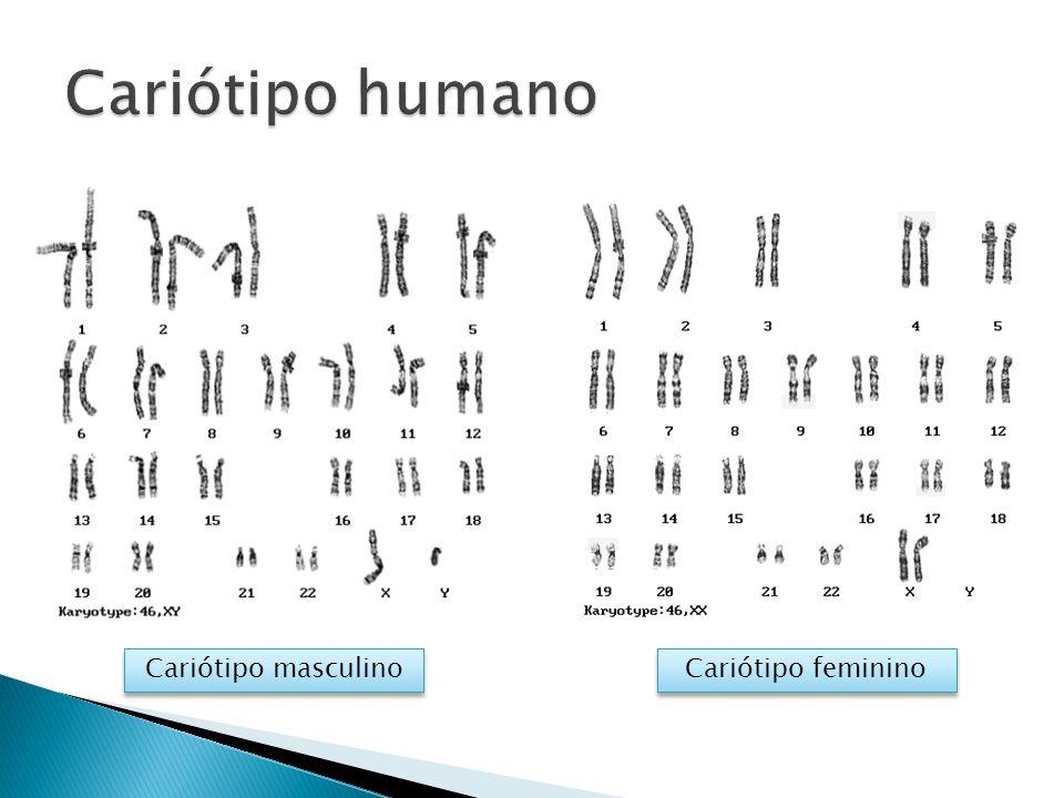 Cariótipo humano Cariótipo masculino Cariótipo feminino