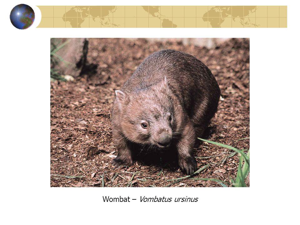 Wombat – Vombatus ursinus