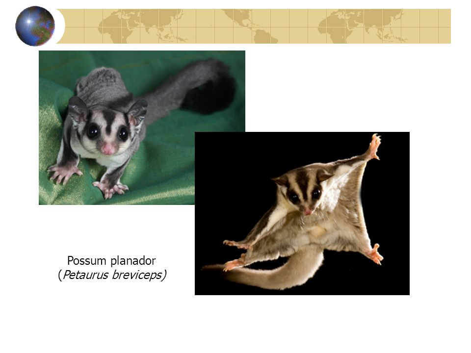 Possum planador (Petaurus breviceps)