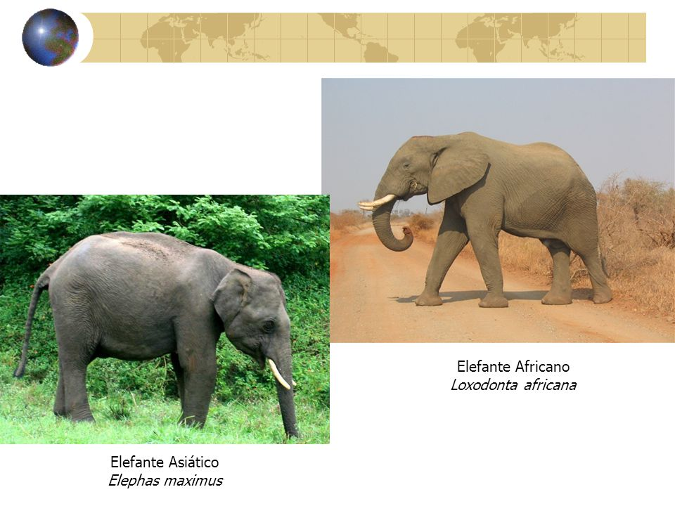 Elefante Africano Loxodonta africana