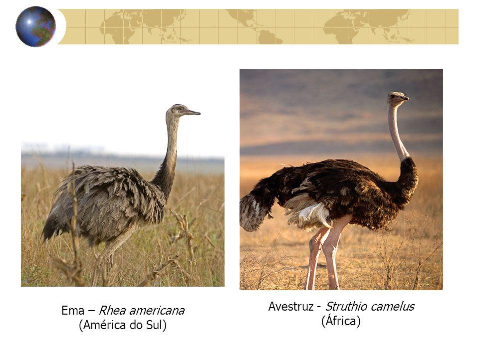 Avestruz - Struthio camelus (África)