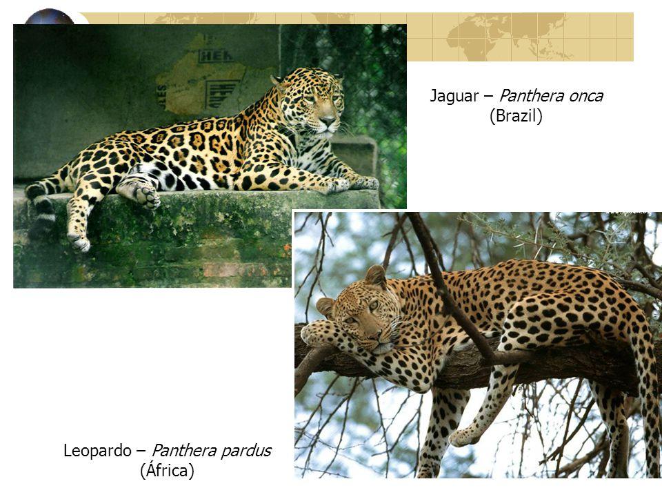 Jaguar – Panthera onca (Brazil)