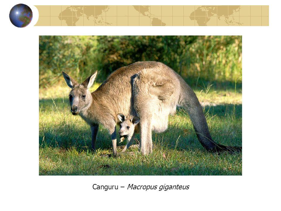 Canguru – Macropus giganteus