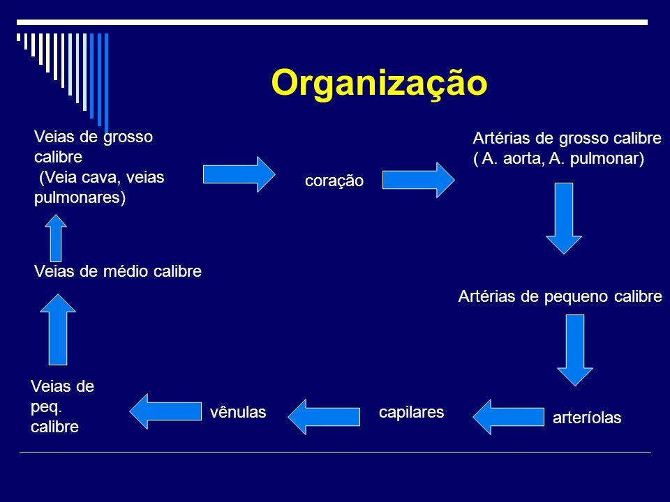 Organização Veias de grosso calibre (Veia cava, veias pulmonares)