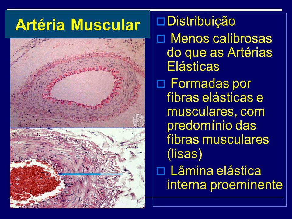 Artéria Muscular Distribuição