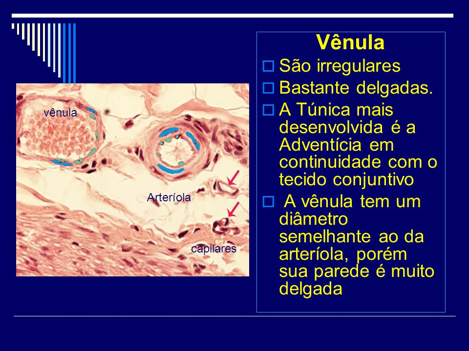 Vênula São irregulares Bastante delgadas.