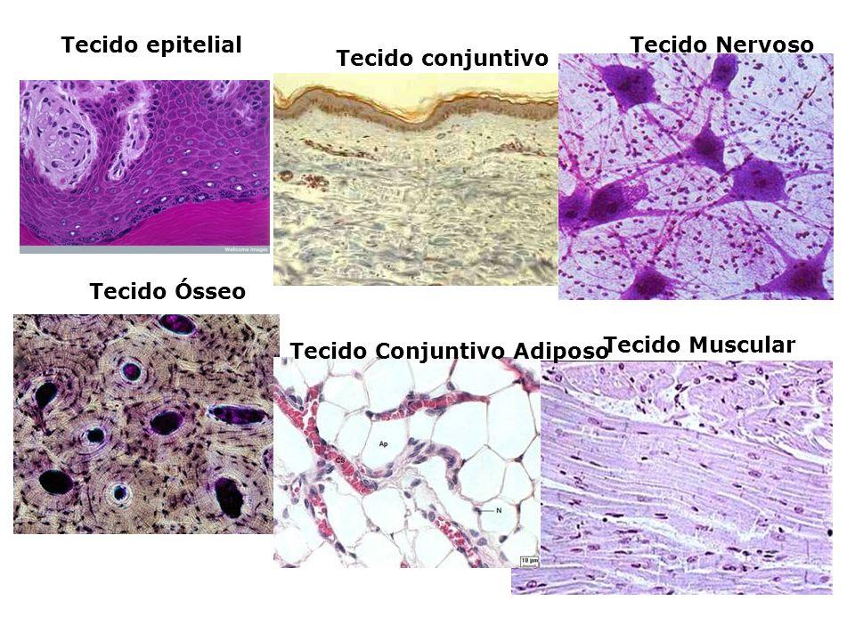 Tecido epitelial Tecido Nervoso. Tecido conjuntivo.