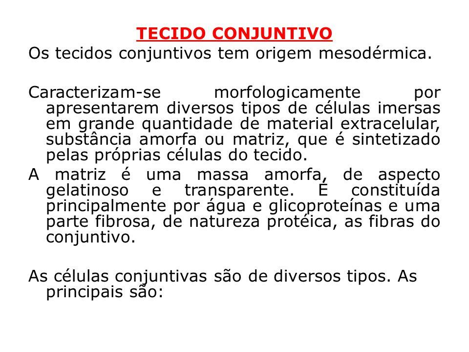 TECIDO CONJUNTIVO Os tecidos conjuntivos tem origem mesodérmica