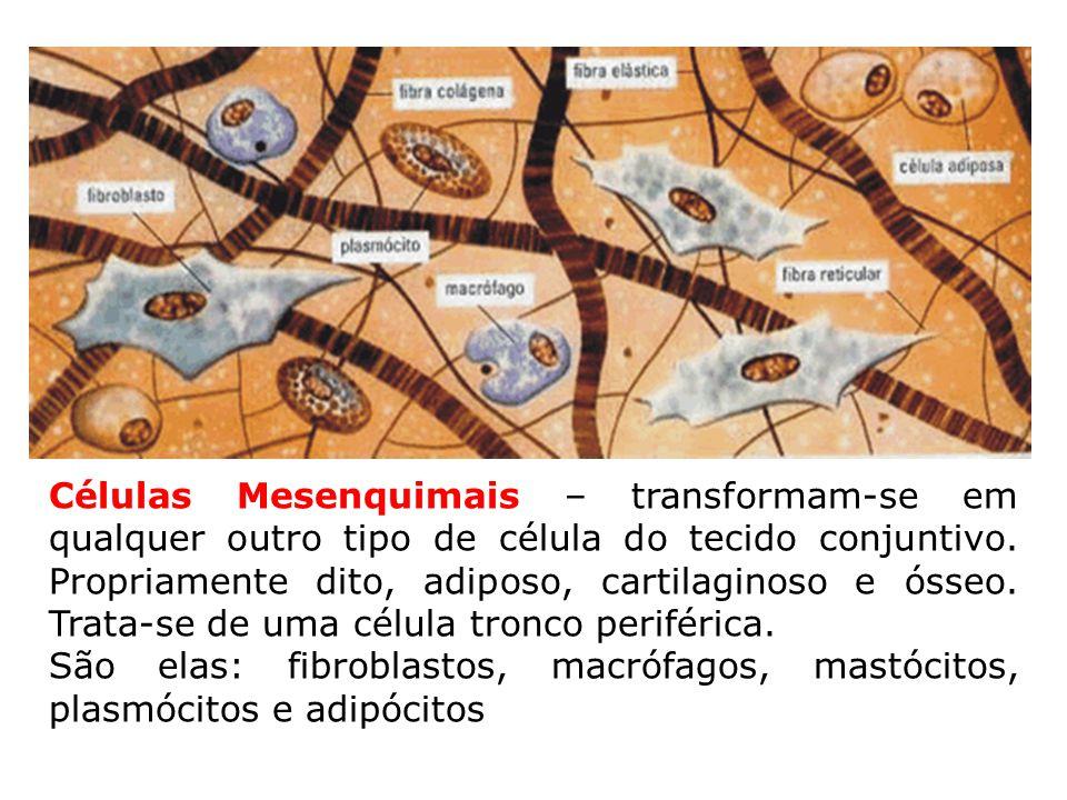 Células Mesenquimais – transformam-se em qualquer outro tipo de célula do tecido conjuntivo. Propriamente dito, adiposo, cartilaginoso e ósseo. Trata-se de uma célula tronco periférica.