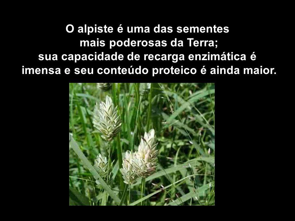 O alpiste é uma das sementes mais poderosas da Terra;