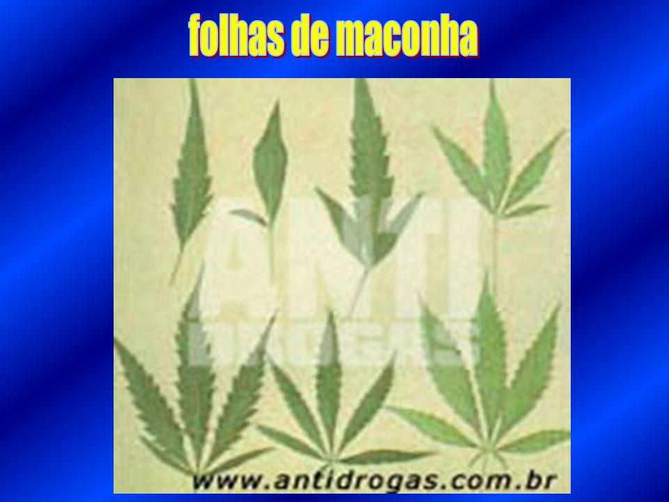 folhas de maconha