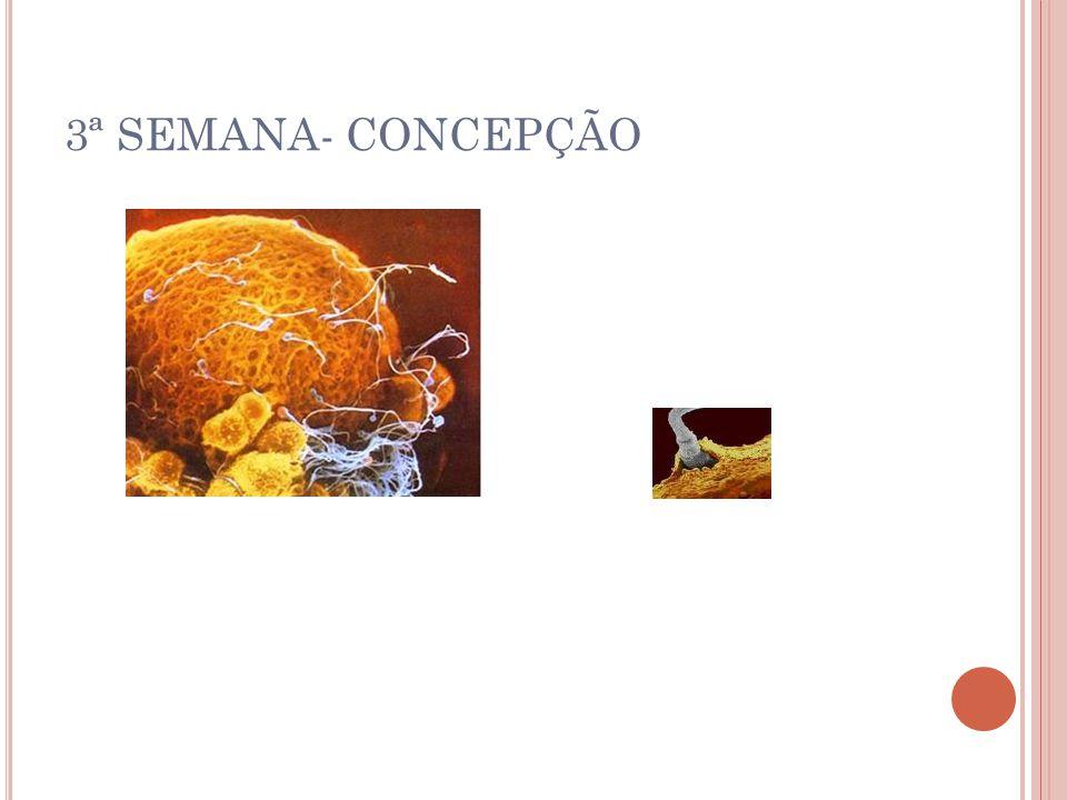 3ª SEMANA- CONCEPÇÃO