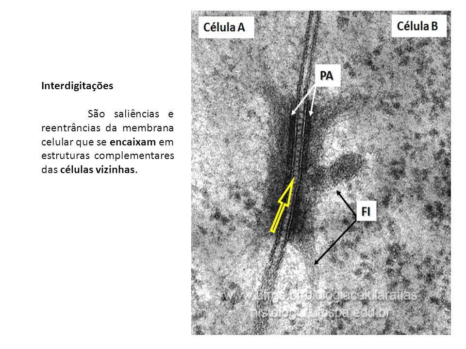 Interdigitações São saliências e reentrâncias da membrana celular que se encaixam em estruturas complementares das células vizinhas.