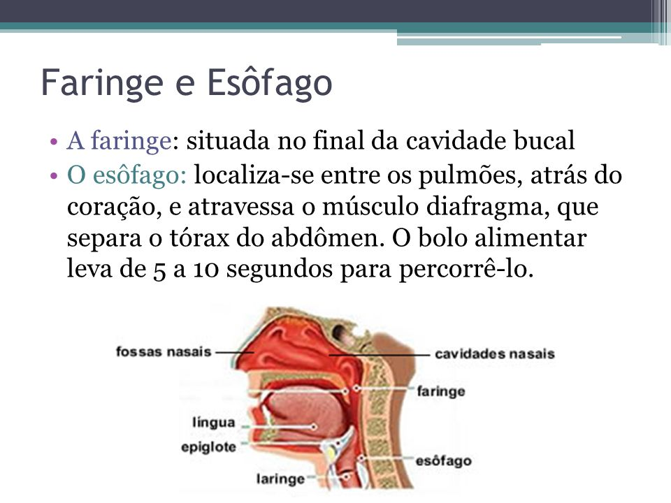Faringe e Esôfago A faringe: situada no final da cavidade bucal
