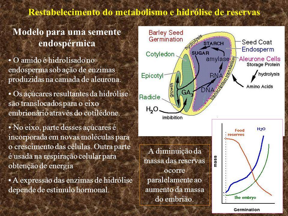 Restabelecimento do metabolismo e hidrólise de reservas