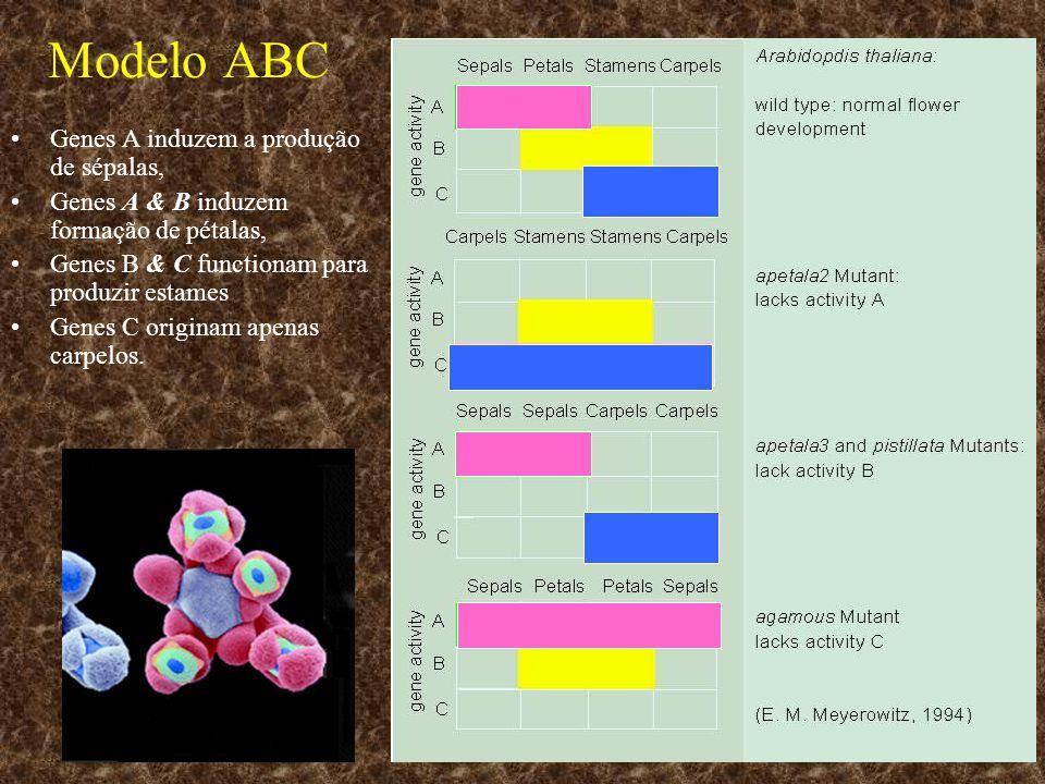Modelo ABC Genes A induzem a produção de sépalas,