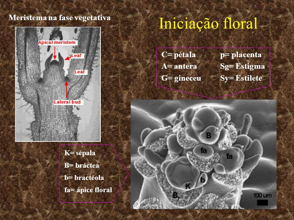 Iniciação floral Meristema na fase vegetativa C= pétala p= placenta