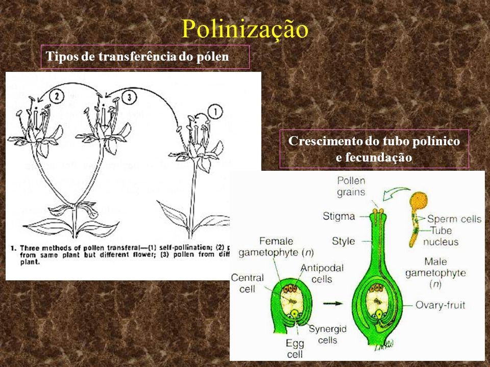 Crescimento do tubo polínico e fecundação