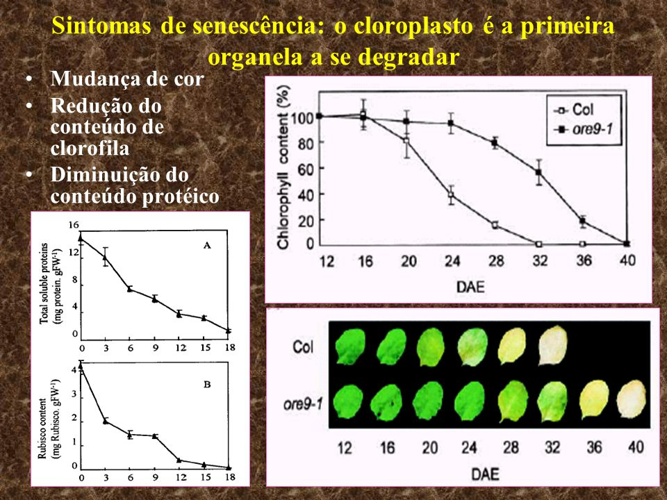 Sintomas de senescência: o cloroplasto é a primeira organela a se degradar
