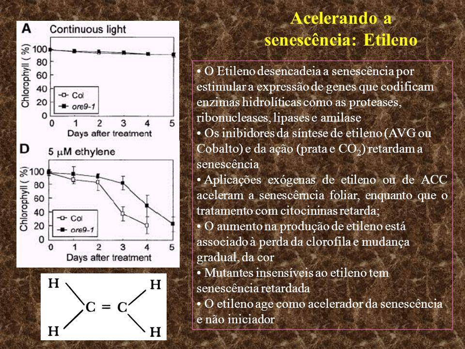 Acelerando a senescência: Etileno