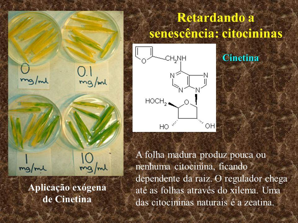 Retardando a senescência: citocininas