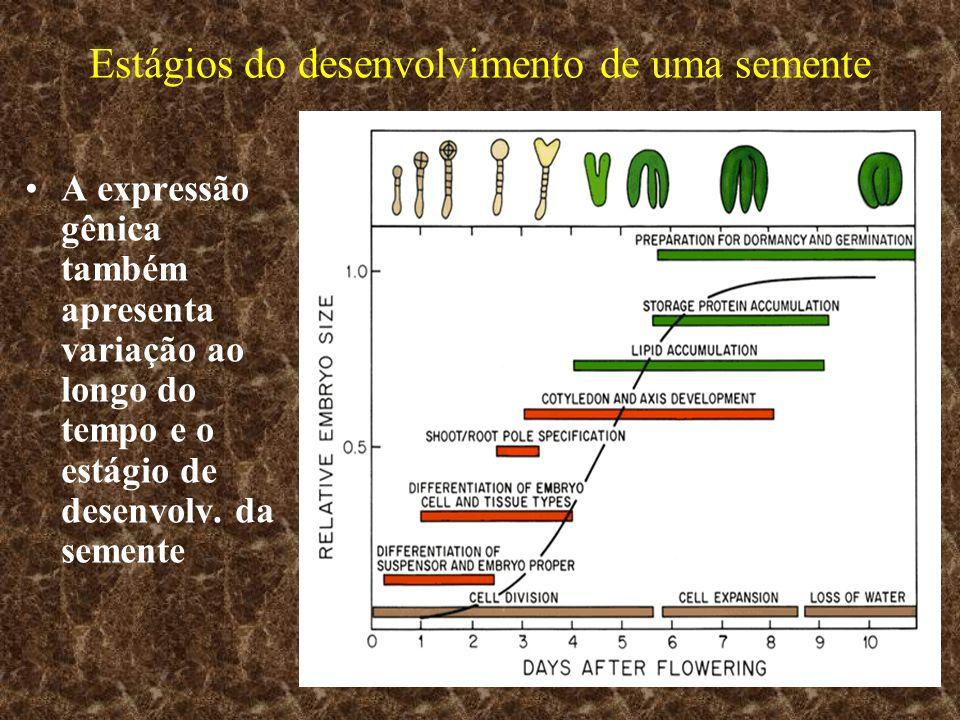 Estágios do desenvolvimento de uma semente