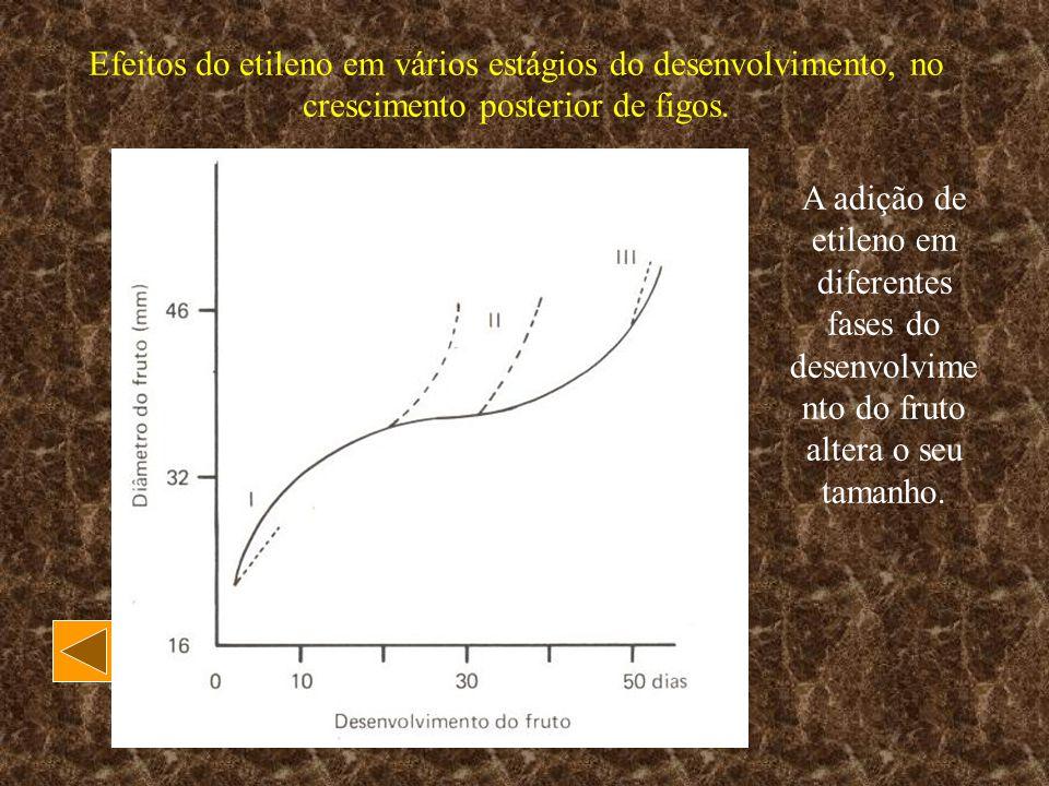 Efeitos do etileno em vários estágios do desenvolvimento, no crescimento posterior de figos.