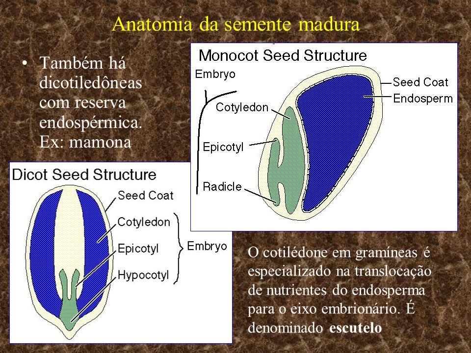 Anatomia da semente madura