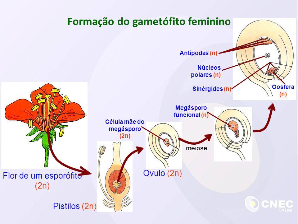 Formação do gametófito feminino