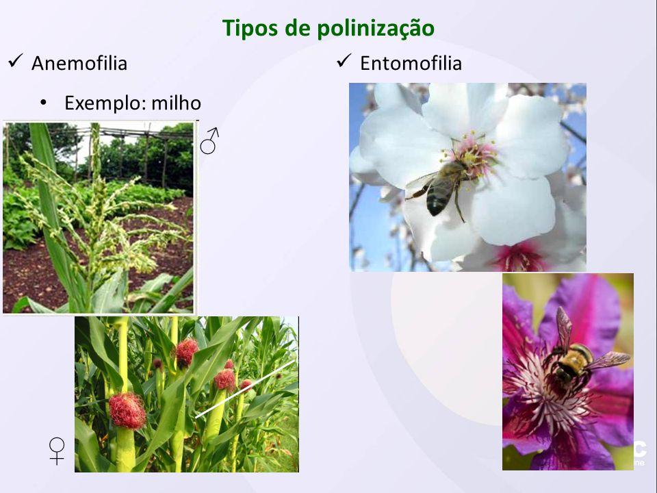 Tipos de polinização Anemofilia Exemplo: milho Entomofilia ♂ ♀