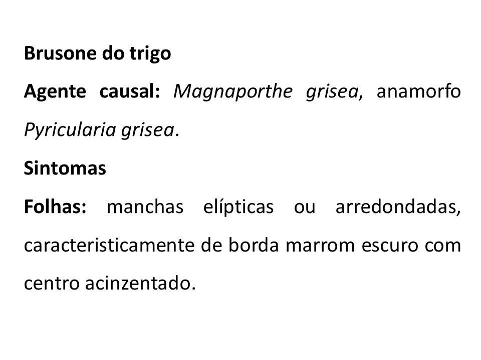 Brusone do trigo Agente causal: Magnaporthe grisea, anamorfo Pyricularia grisea. Sintomas.