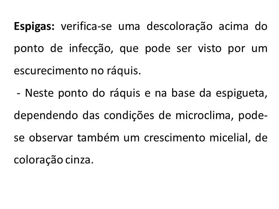 Espigas: verifica-se uma descoloração acima do ponto de infecção, que pode ser visto por um escurecimento no ráquis.