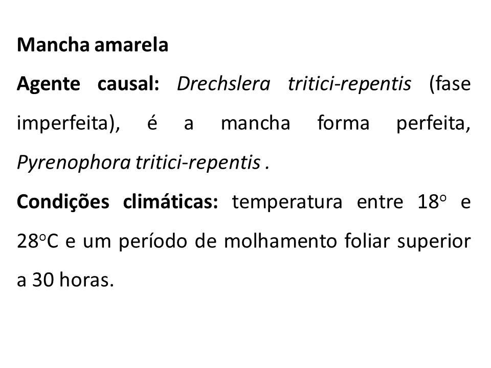 Mancha amarela Agente causal: Drechslera tritici-repentis (fase imperfeita), é a mancha forma perfeita, Pyrenophora tritici-repentis .