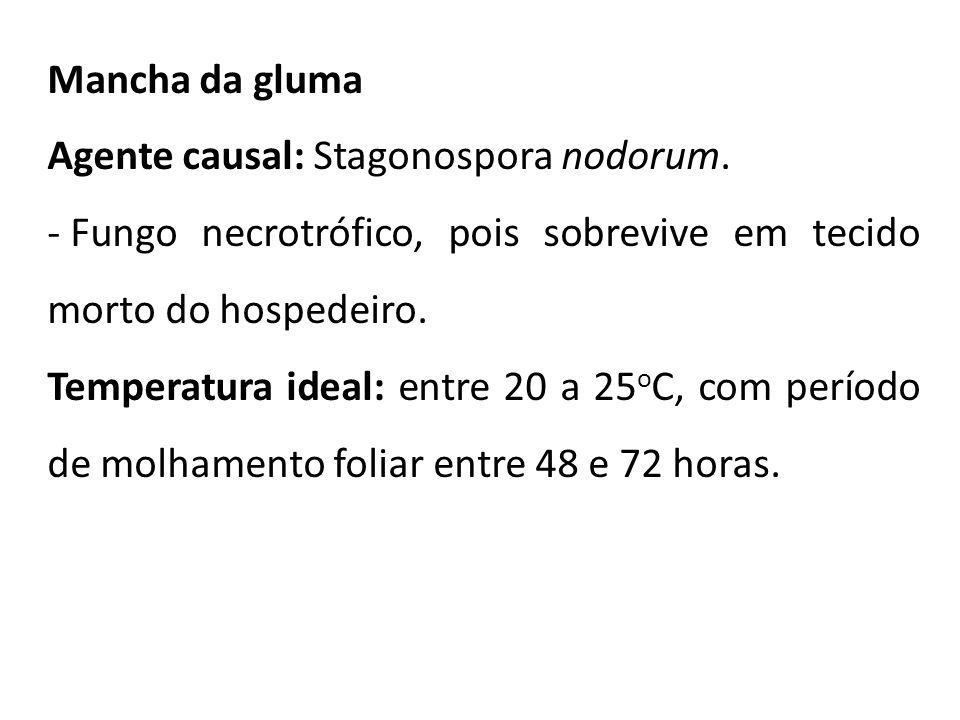 Mancha da gluma Agente causal: Stagonospora nodorum. Fungo necrotrófico, pois sobrevive em tecido morto do hospedeiro.