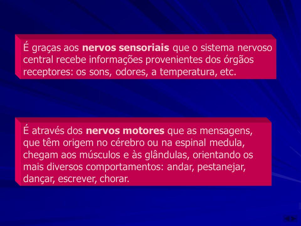 É graças aos nervos sensoriais que o sistema nervoso central recebe informações provenientes dos órgãos receptores: os sons, odores, a temperatura, etc.