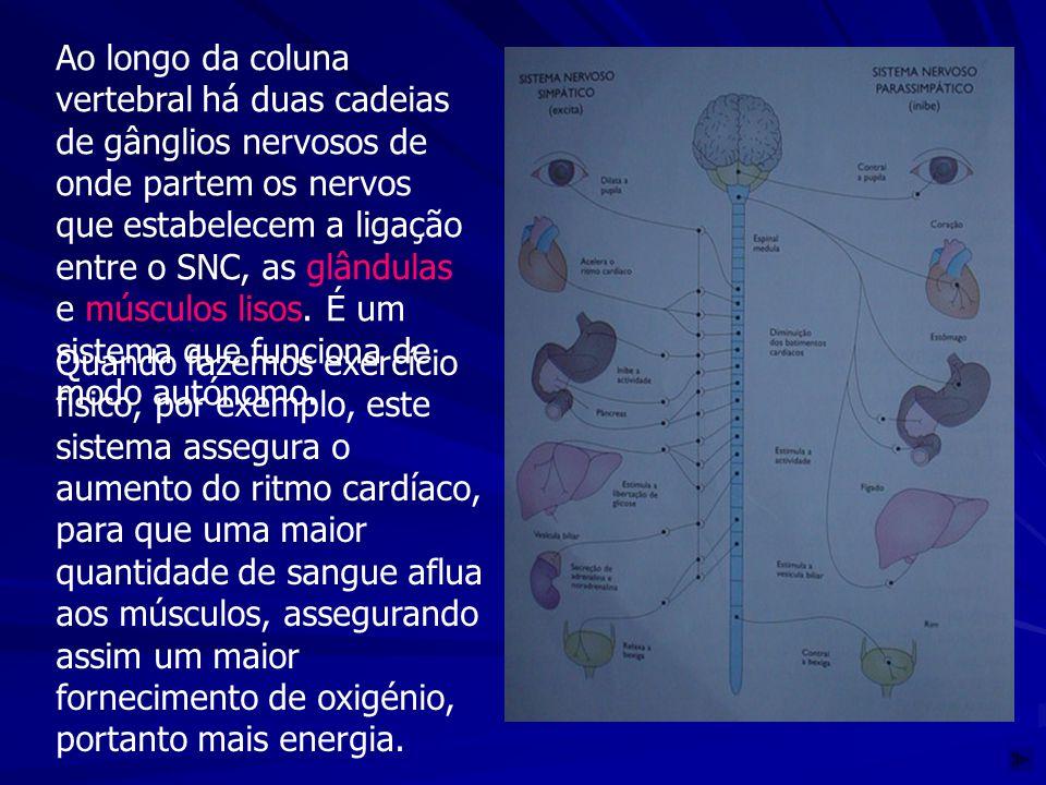 Ao longo da coluna vertebral há duas cadeias de gânglios nervosos de onde partem os nervos que estabelecem a ligação entre o SNC, as glândulas e músculos lisos. É um sistema que funciona de modo autónomo.