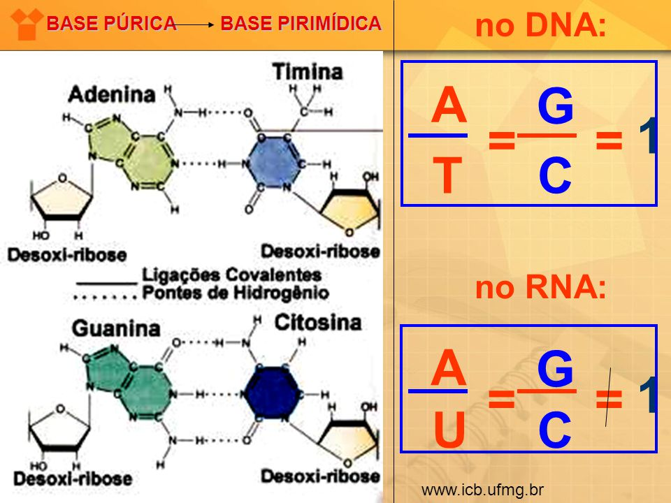 A T G C = 1 A U G C = 1 no DNA: no RNA: BASE PÚRICA BASE PIRIMÍDICA