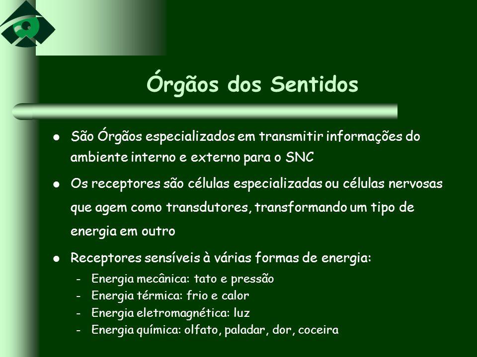 Órgãos dos Sentidos São Órgãos especializados em transmitir informações do ambiente interno e externo para o SNC.
