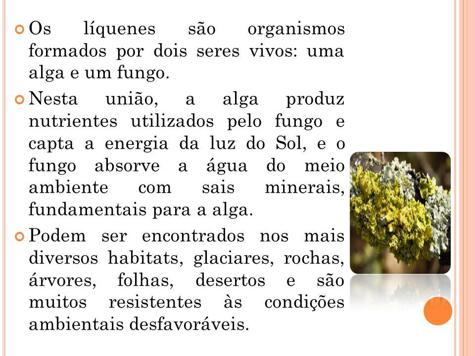 Os líquenes são organismos formados por dois seres vivos: uma alga e um fungo.